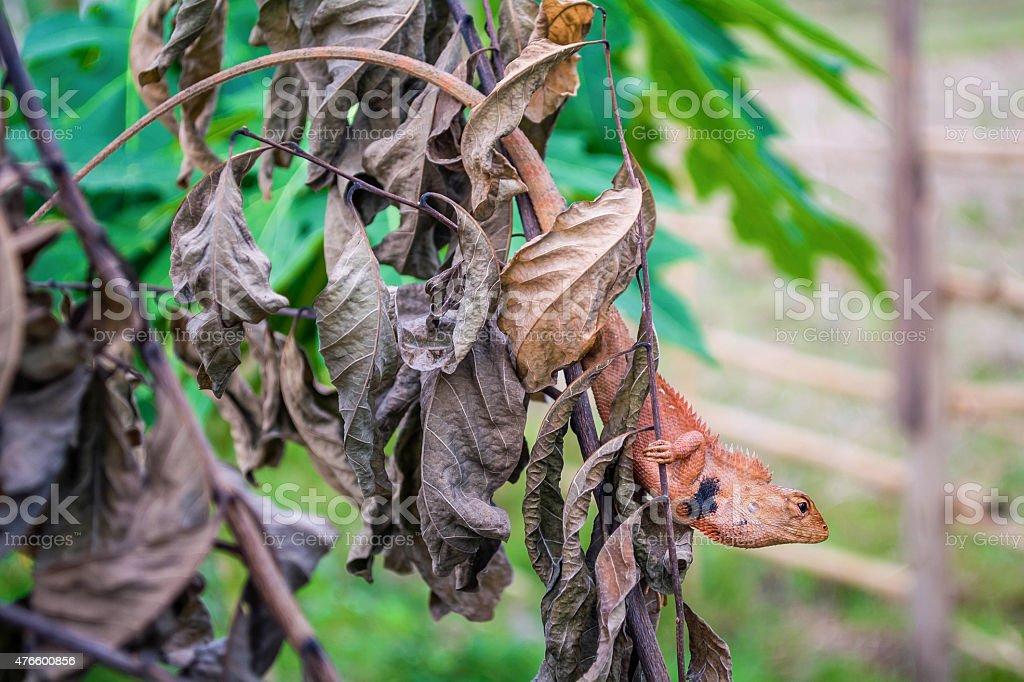 Wählen Sie den Fokus von chameleon Lizenzfreies stock-foto