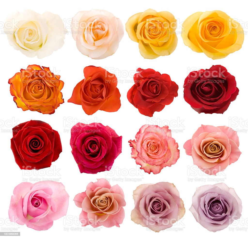 Selection of beautiful roses stock photo