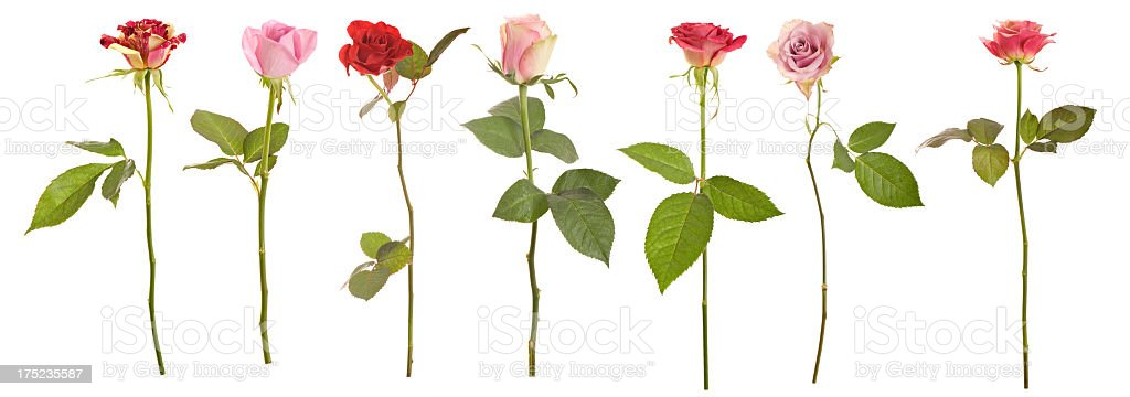 Selection of long stem roses stock photo