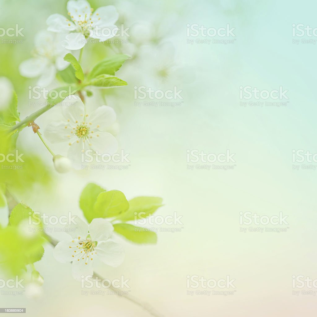 Selective focus close up of spring cherry blossom stock photo