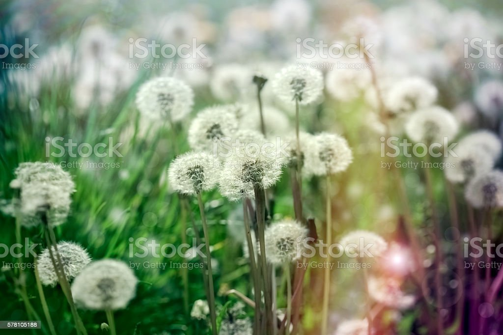 Selective focus dandelion seeds in green grass stock photo