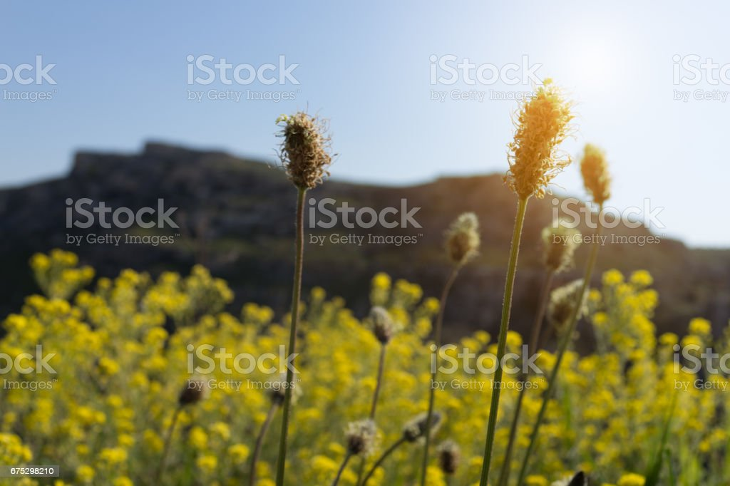 Selective focus dry yellow grass flowers on meadow in Spring  sunrise, south Italy. stock photo