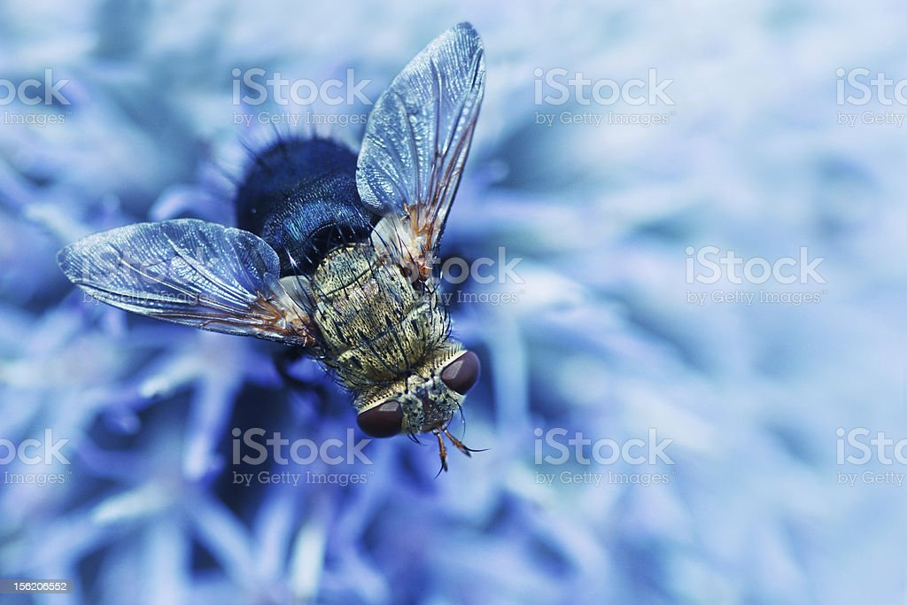 Selective focus of blow fly Lucilia on a thistle. stock photo