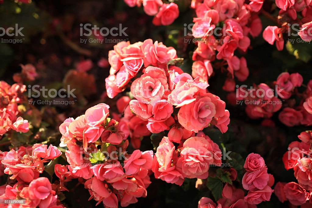 selective focus of colorful begonia flowers with water spray stock photo