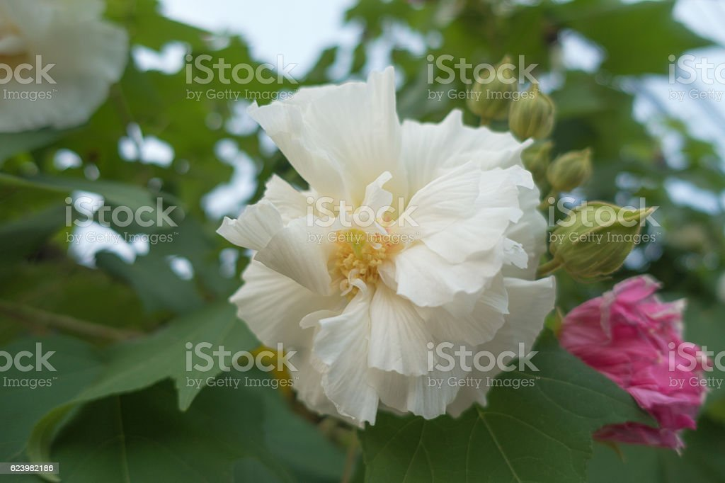 selective focus of Cotton rose on tree, Confederate rose (Hibisc stock photo