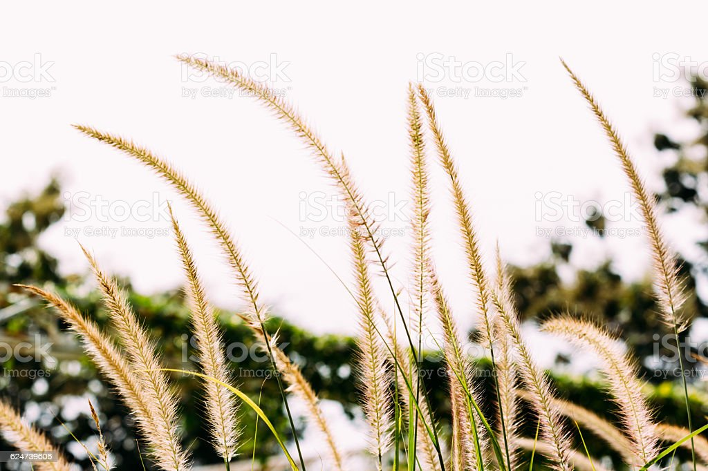 Selective focus of feather pennisetum(mission grass) at sunset stock photo