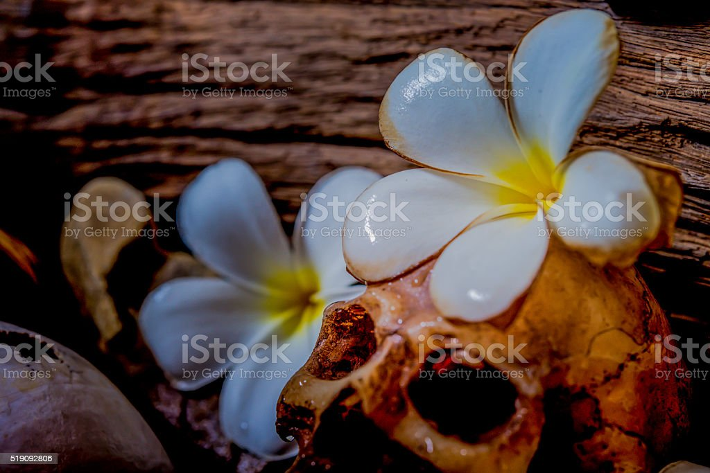 Selective focus of golden perl in pulmeria or frangipani flowers stock photo