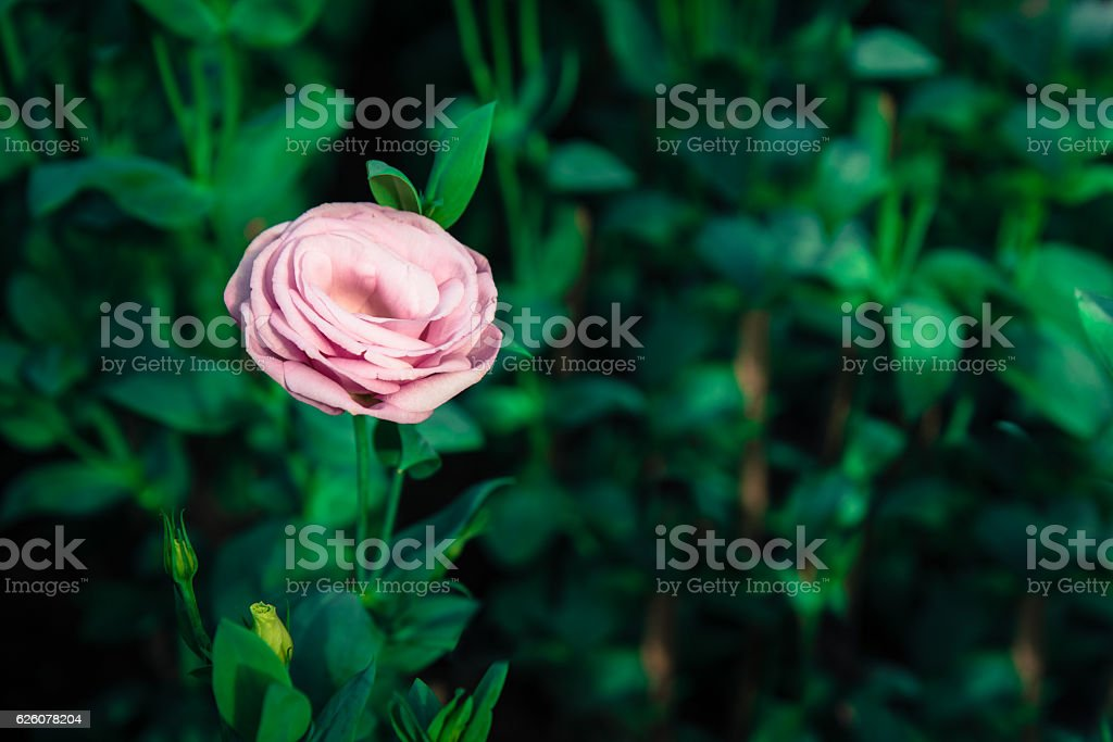 Selective focus of Pink Rose Garden in Vintage pastel color stock photo