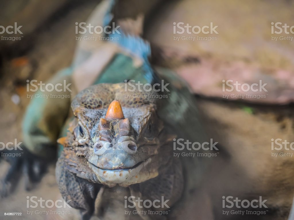 A selective focus on a face of a reptile, chameleon or lizard which is looking toward to us with a happy smiling face. The face shows it textile of spots and little horn in front of it stock photo