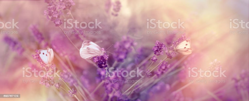 Selective focus on butterflies on lavender - beautiful nature stock photo