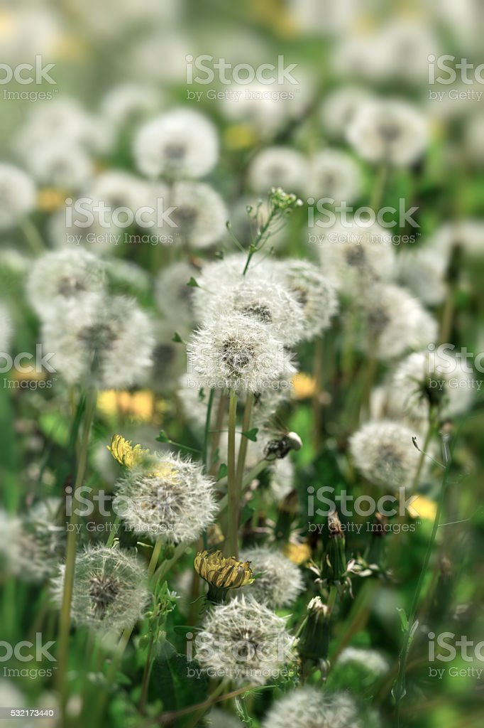 Selective focus on dandelion seeds stock photo