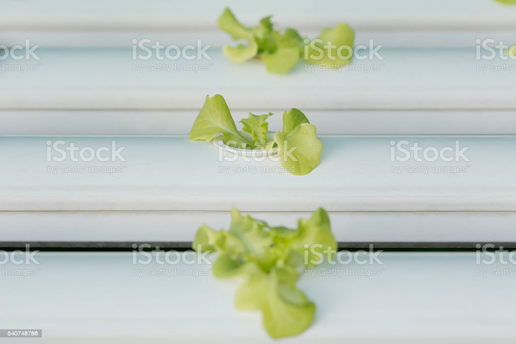 selective focus on sprout hydroponics vegetable stock photo