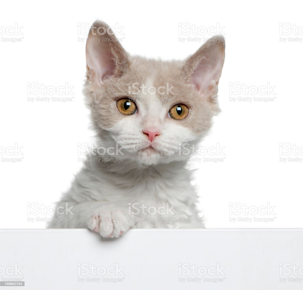 Selkirk Rex kitten, coming out of a box, white background. royalty-free stock photo