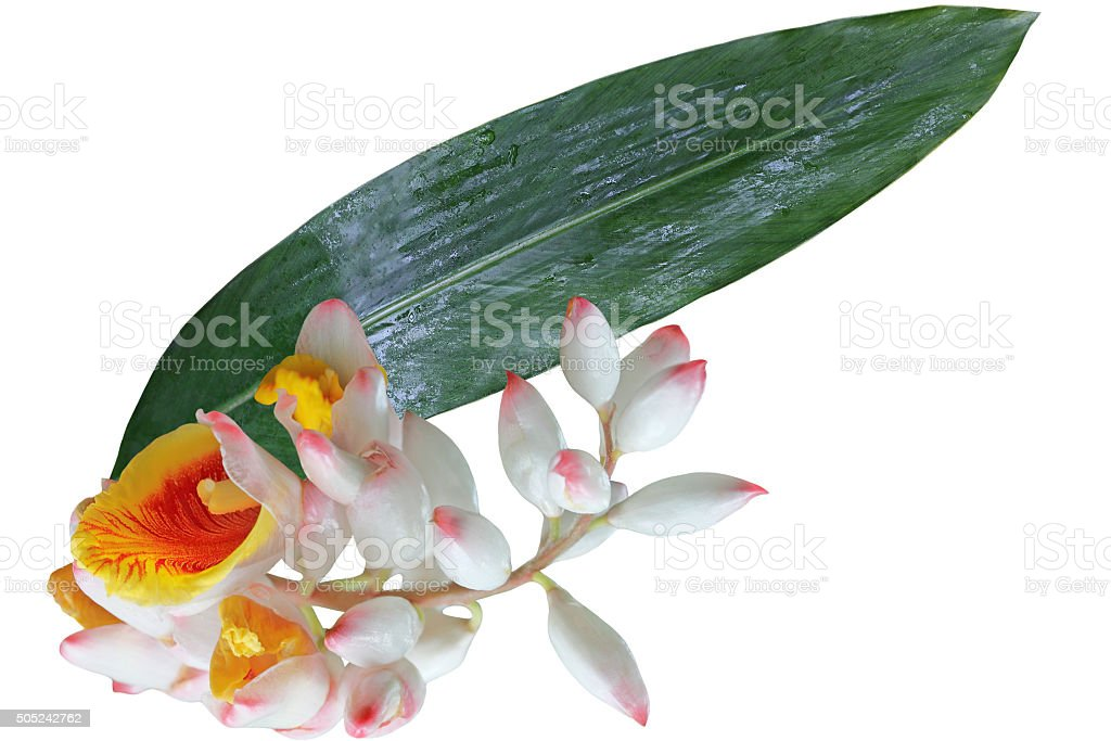 Sell Ginger Flower and Leaf stock photo