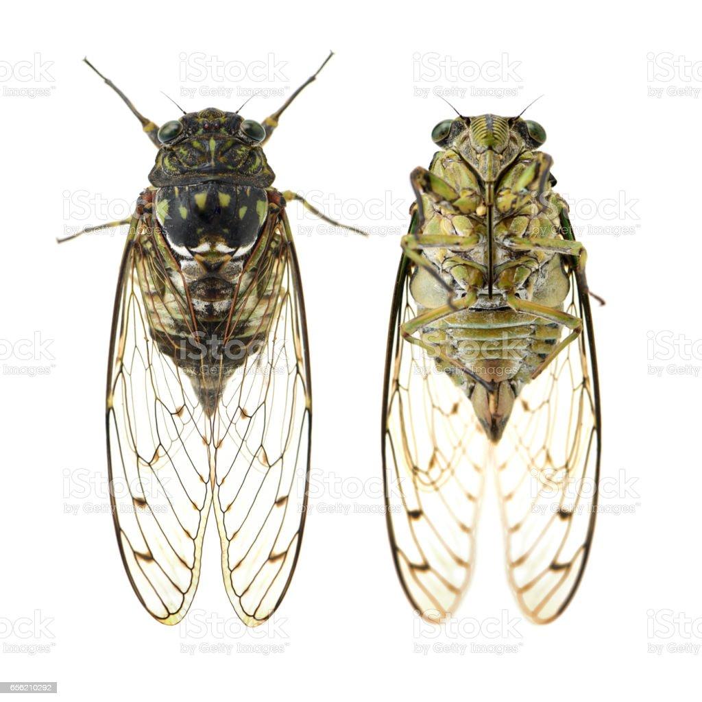 Semi,Cicada  insulated cutout, white background stock photo