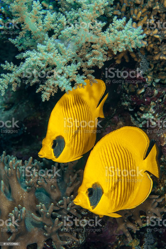 Semilarvatus Butherflyfish stock photo