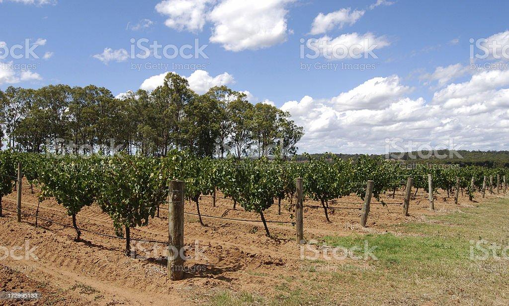 Semillon grapes at Hunter Valley, Australia stock photo