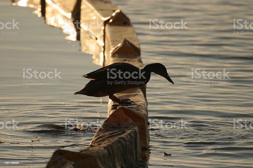 Seminole Duck stock photo