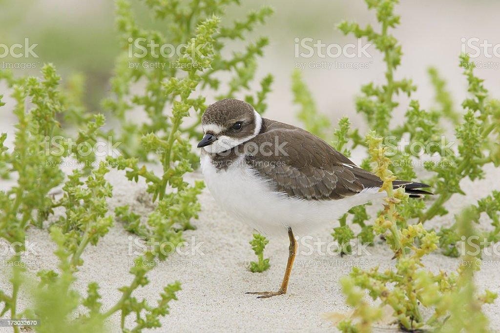 Semipalmated Plover Shorebird on Beach Sand stock photo