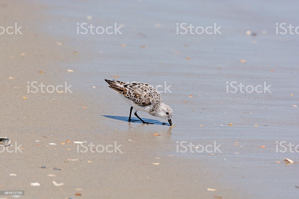 semipalmated sandpiper Feeding on the Shore stock photo
