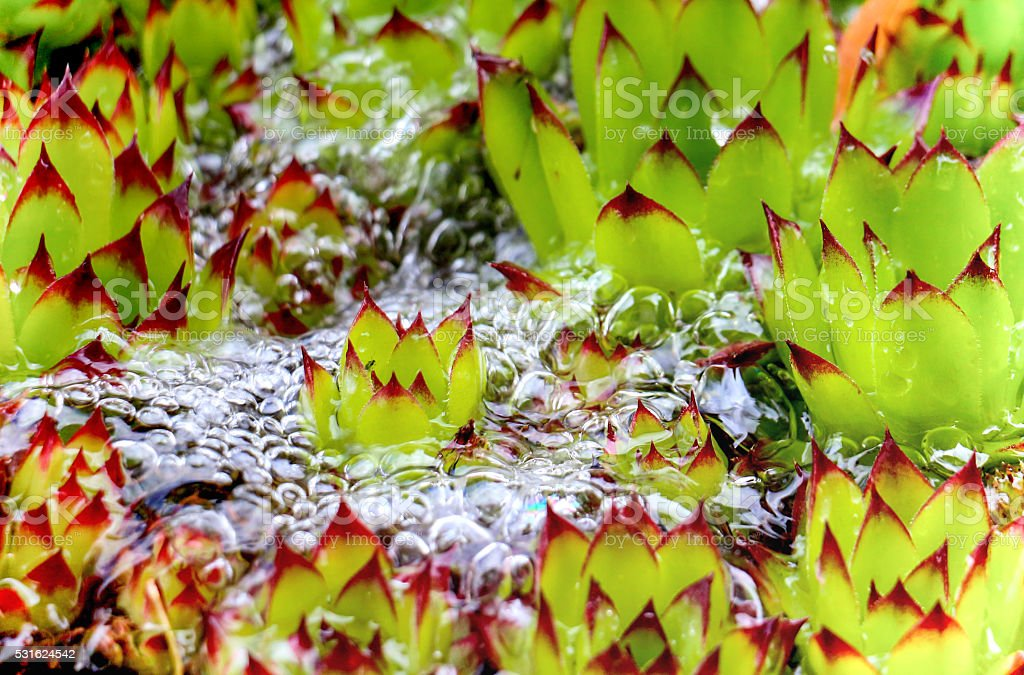 sempervivum flower stock photo