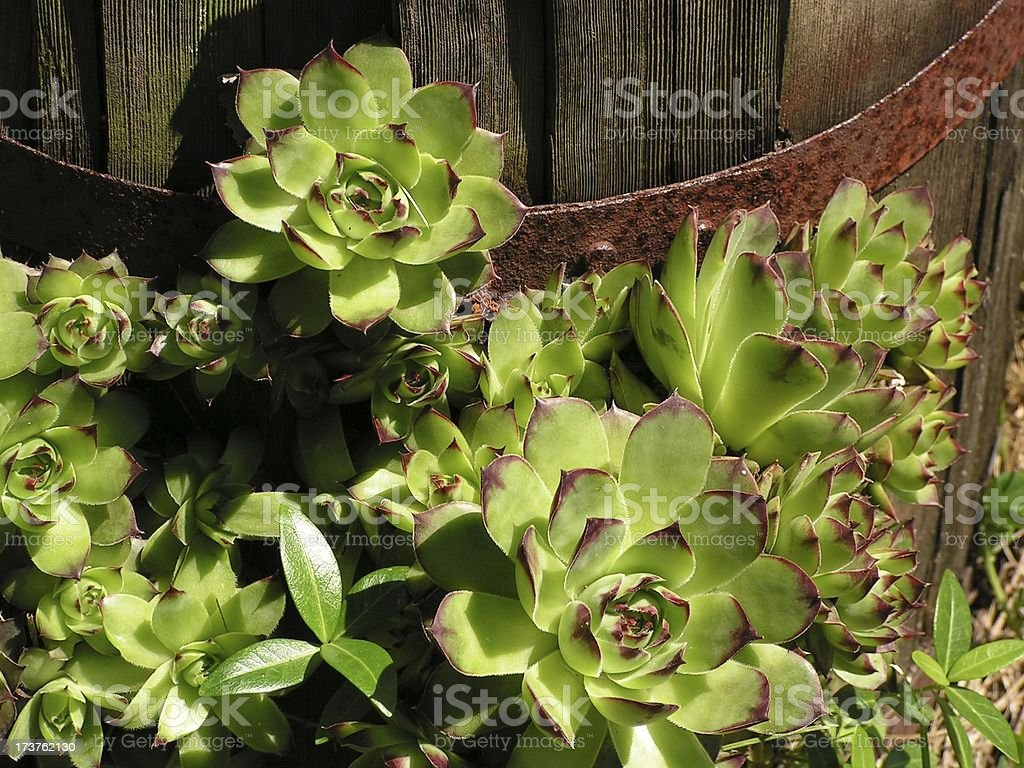 Sempervivum hens n chicks stock photo