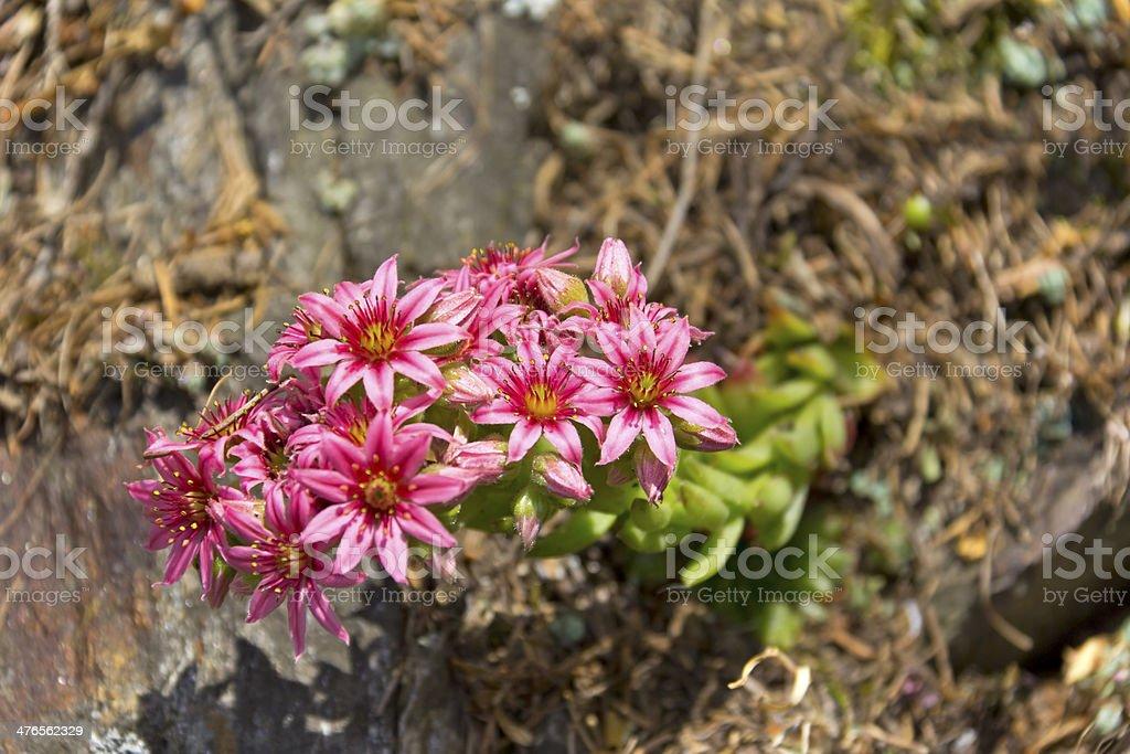Sempervivum montanum, Crassulaceae, Stonecrop Family from the Eu royalty-free stock photo