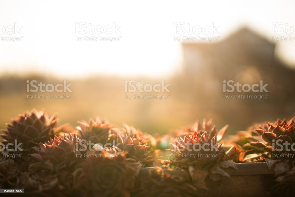 Sempervivum plant in the sun stock photo