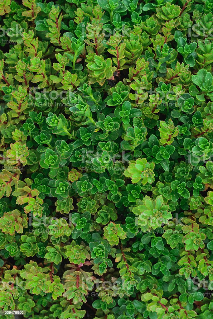 Sempervivum soboliferum. Succulent. green natural background stock photo