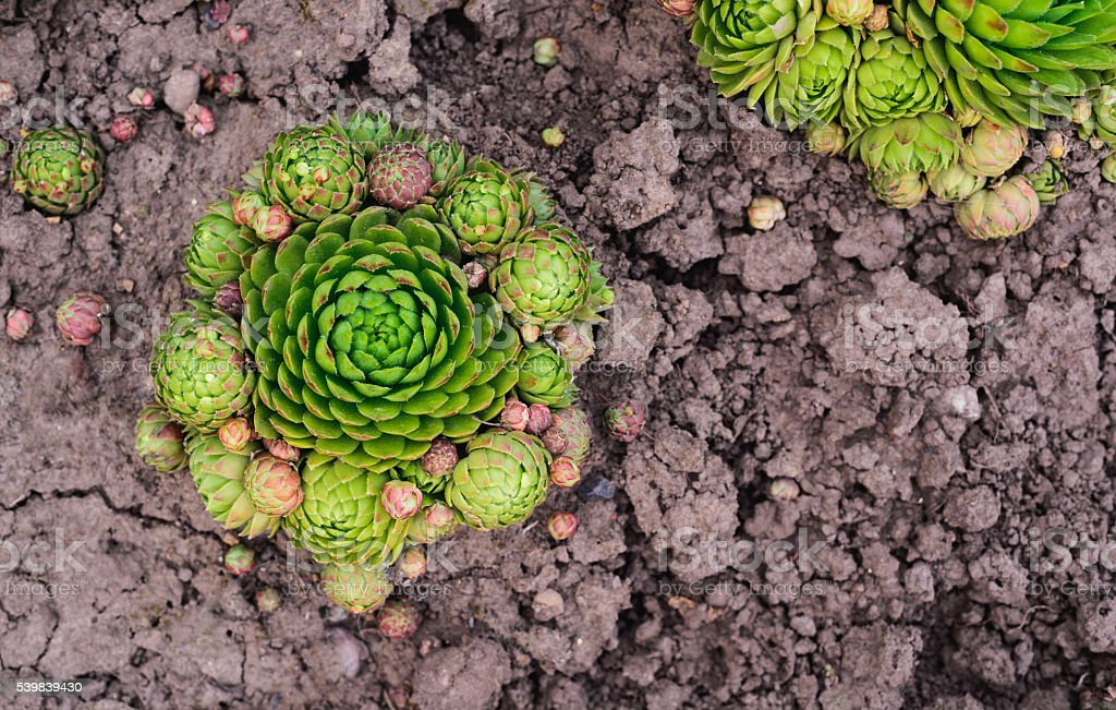 Sempervivum soboliferum. Succulent. green on ground, natural background stock photo