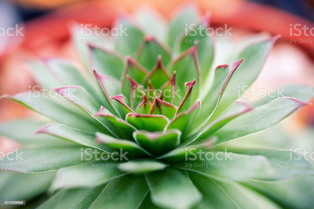 Sempervivum succulent plants stock photo