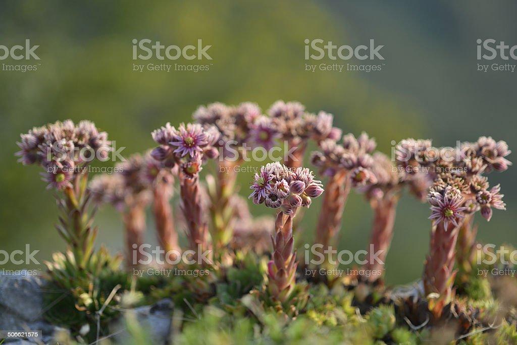 Sempervivum Tectorum, Common Houseleek, Slovenia, Europe royalty-free stock photo