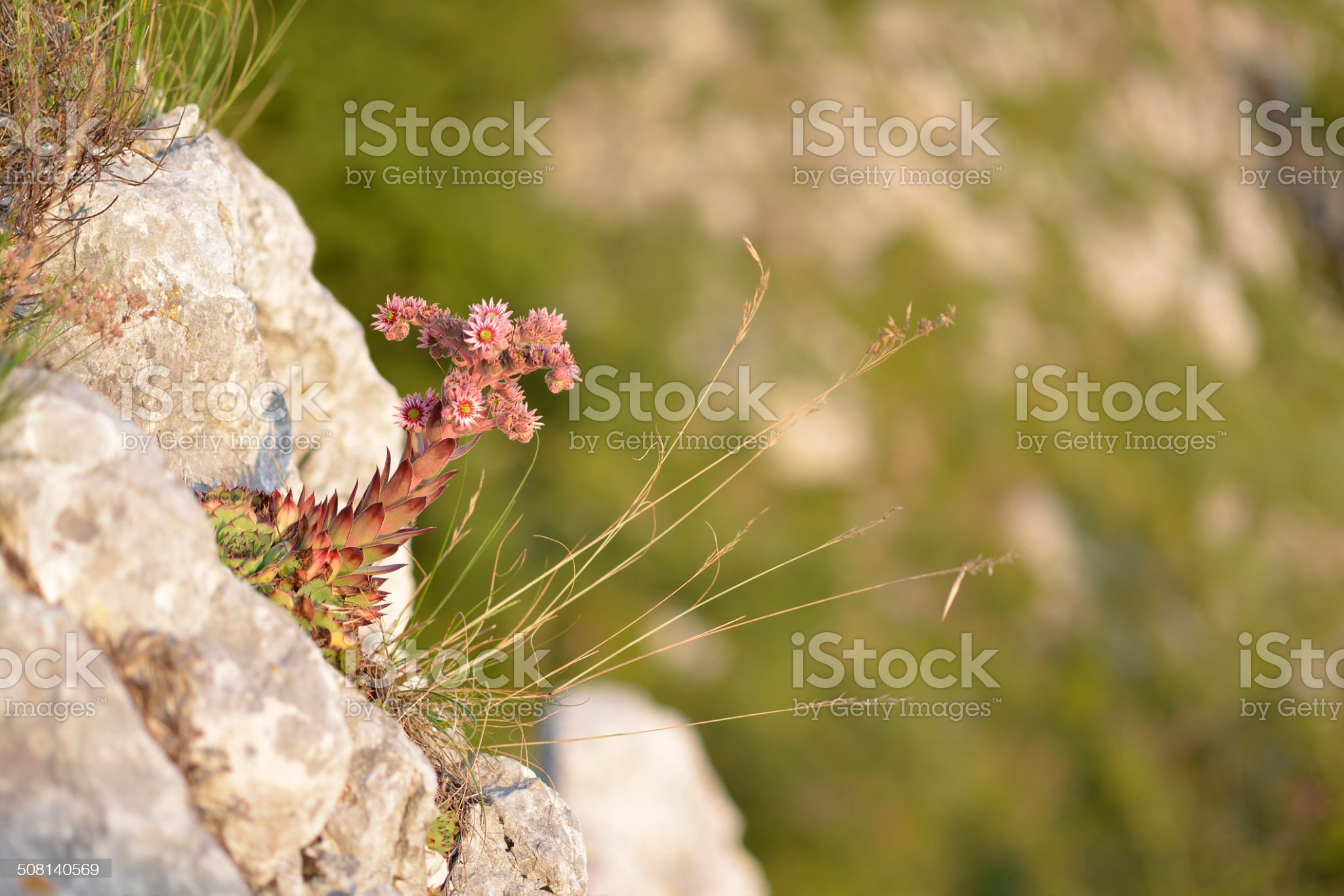Sempervivum Tectorum, Common Houseleek, Slovenia, Europe royalty-free stock photo