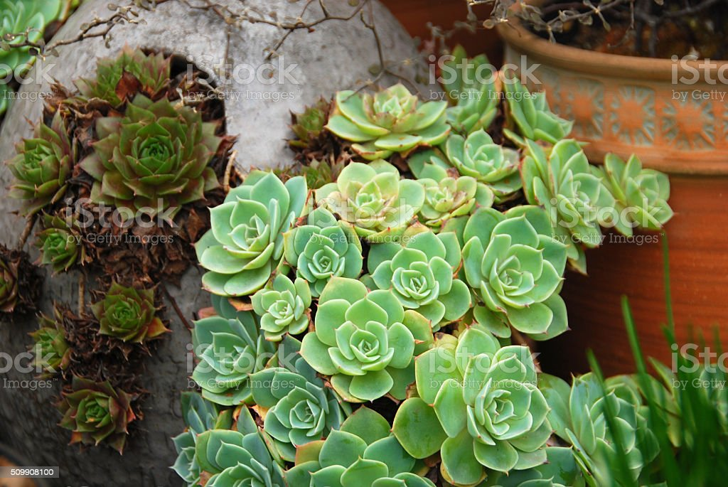 Sempervivum tectorum growing in a flowerpot stock photo