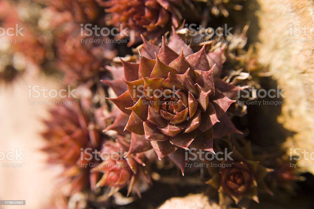 Sempervivum Tectorum stock photo