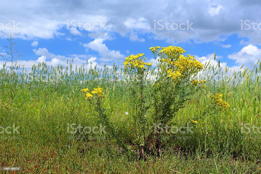 Senecio erucifolius on the edge of a wheat field stock photo