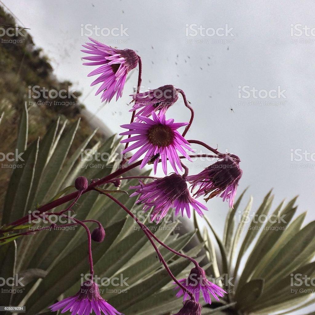 Senecio formosoides- arnica, Páramo's plant. stock photo