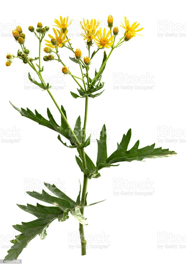 Senecio stock photo