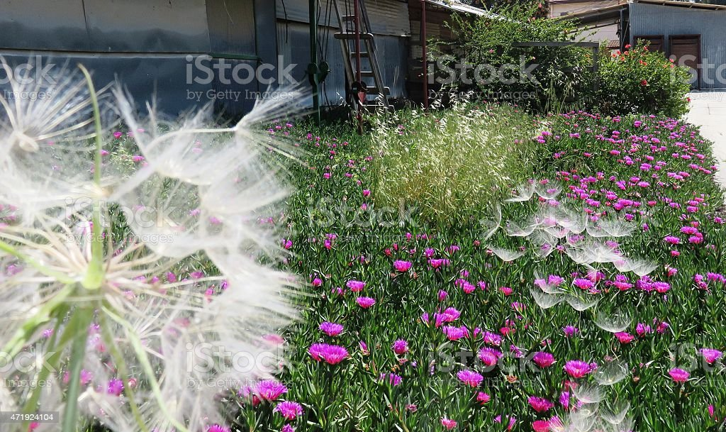 Senecio, Seeds disperse by wind stock photo
