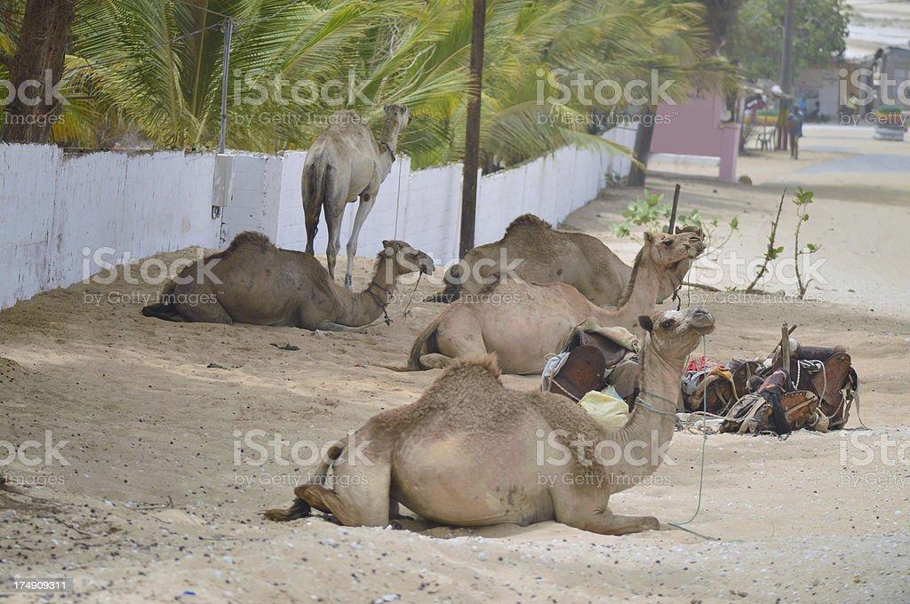Senegal Camel Concession stock photo