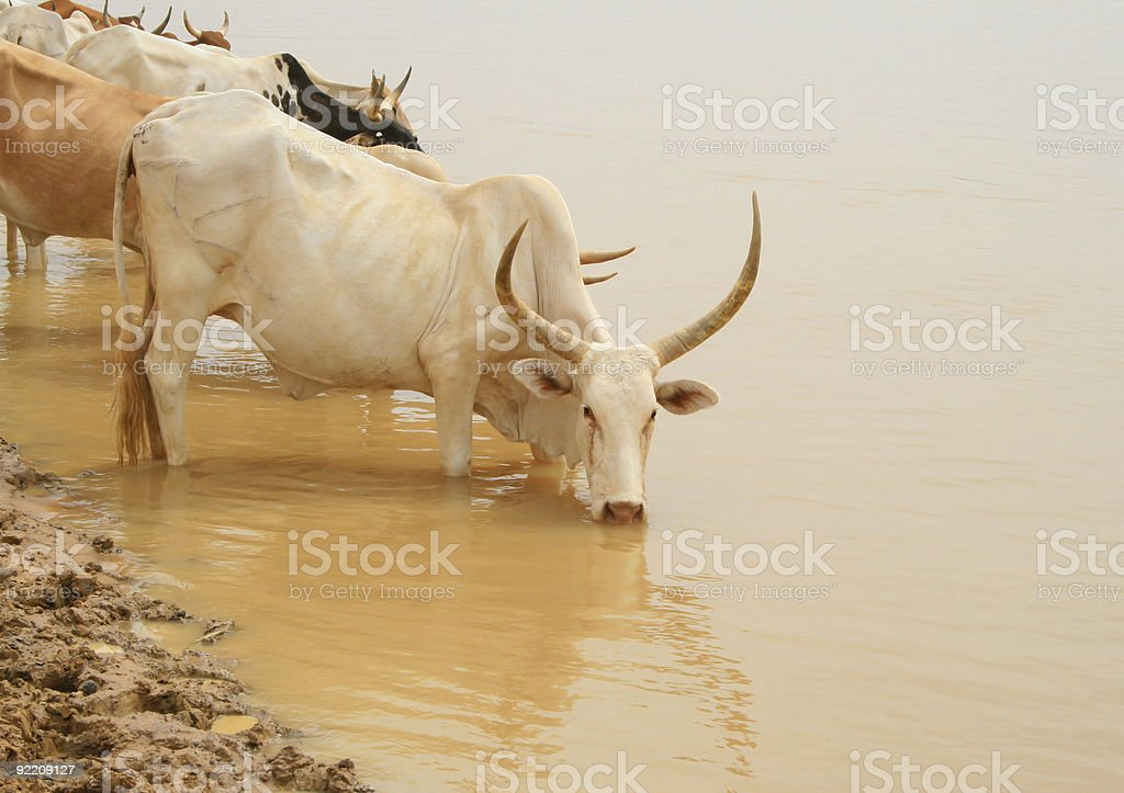 Senegal cows royalty-free stock photo