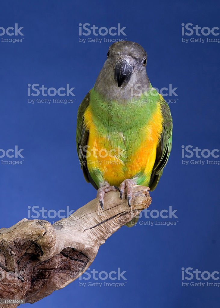 Senegal Parrot royalty-free stock photo