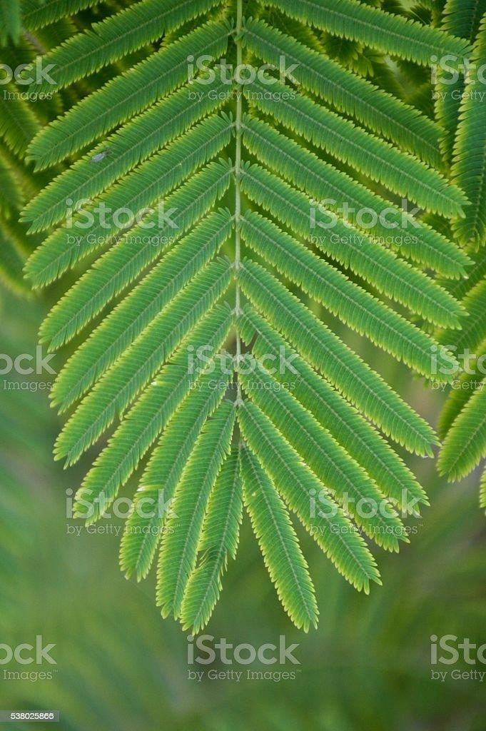 Senegalia pennata leaves stock photo