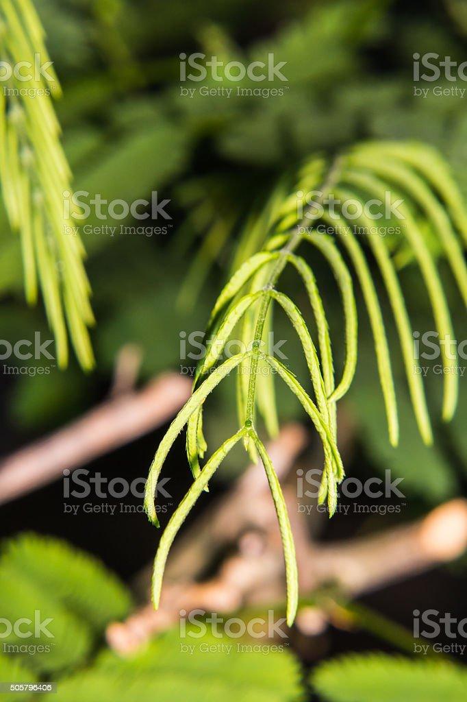 Senegalia pennata stock photo