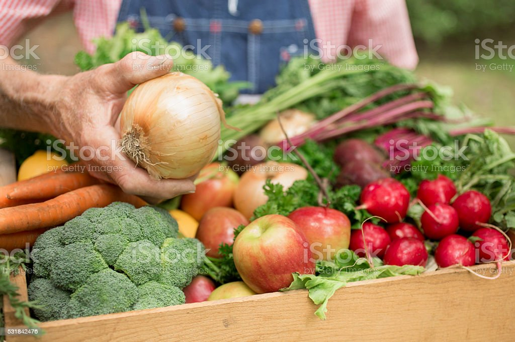Senior adult, male farmer harvests organic vegetables. stock photo