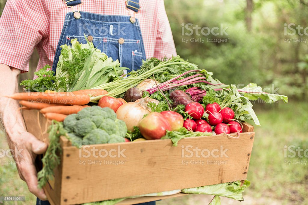 Senior adult, male farmer harvests organic vegetables. stock photo