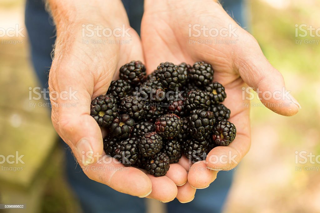 Senior adult, male farmer picks blackberries on farm. Organic fruits. stock photo