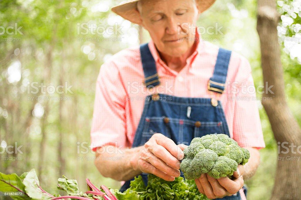 Senior adult, male farmer picks broccoli on farm. Organic vegetables. stock photo