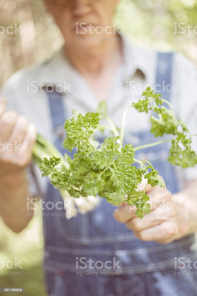 Senior adult, male farmer picks parsley on farm. Organic vegetables. stock photo