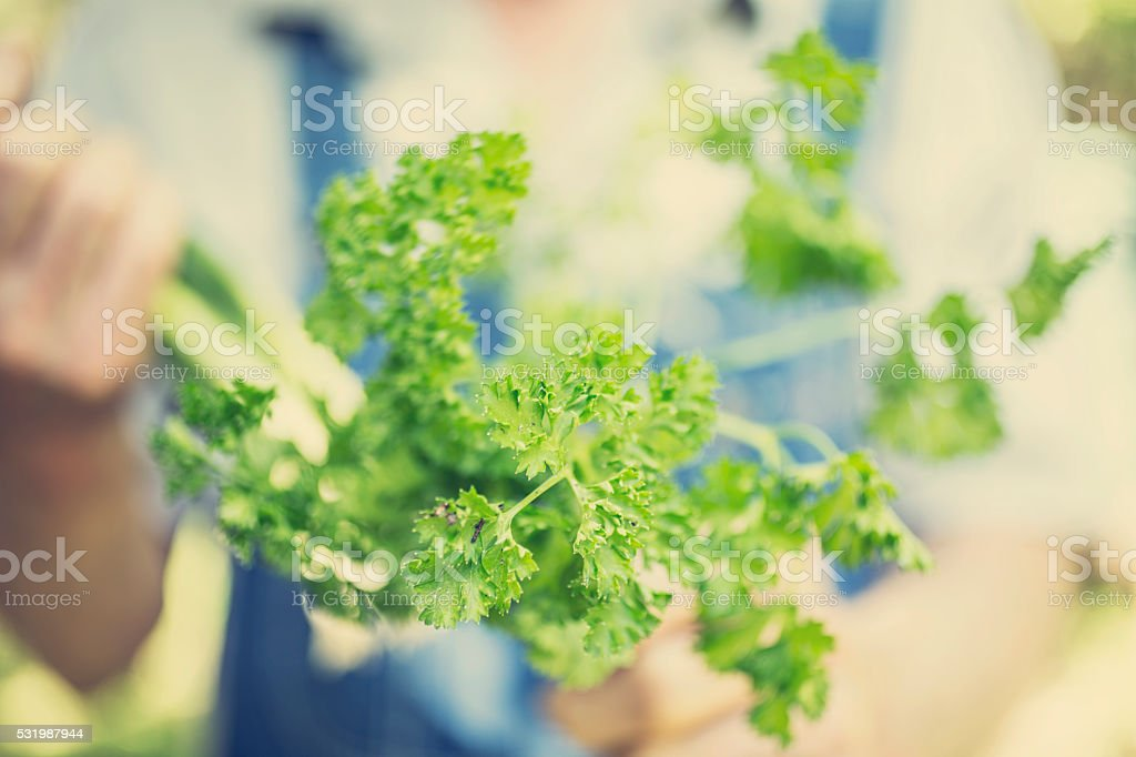Senior adult, male farmer picks parsley on farm. Organic vegetables. stock photo